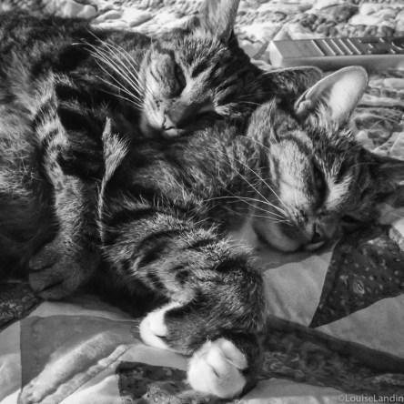 Katterna Tiger och Milou Tillsammans