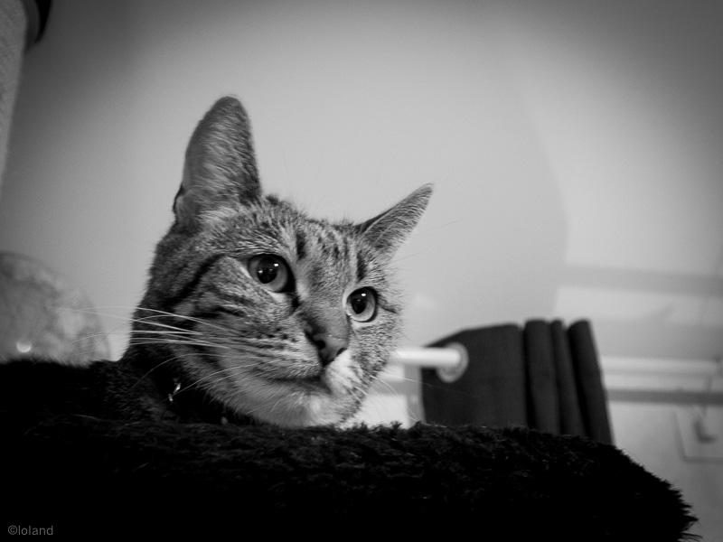 Tiger betraktar det nyanlända spektaklet från sin tron.