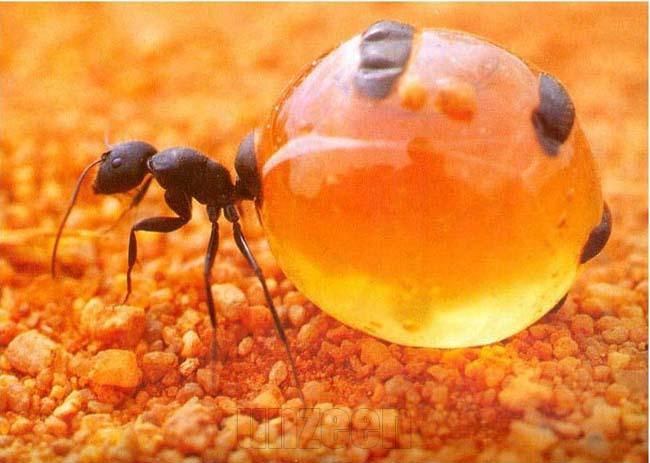 Honeypot_ant_1