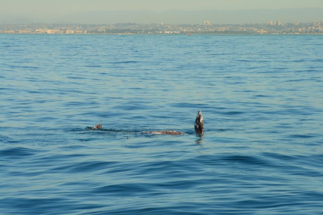 Whale watching in San Diego Bay
