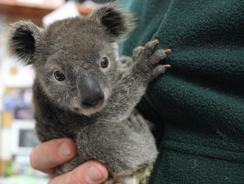 things to do in Sydney - Koala