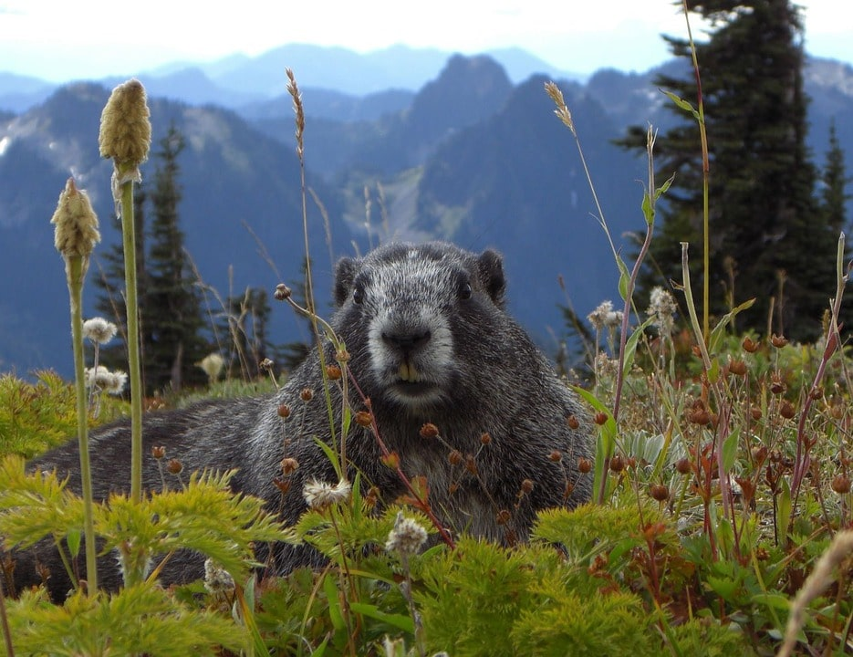 Seattle to San Francisco road trip - marmot