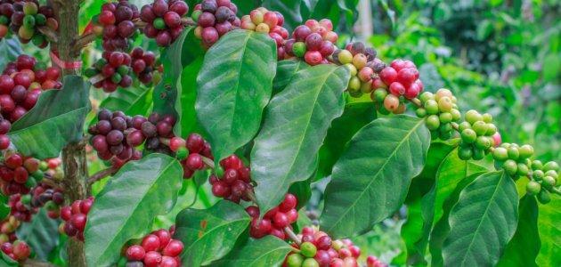 كيف يتم زراعة القهوة في الجزائر