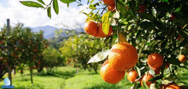 الأوقات المناسبة للزراعة البرتقال