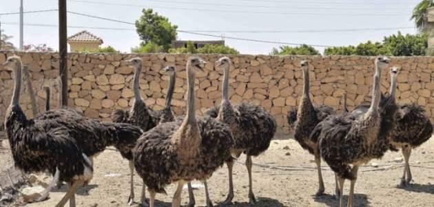 جدوى مشروع تربية النعام بالمنزل في الكويت