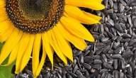 شرح زراعة بذور دوار الشمس