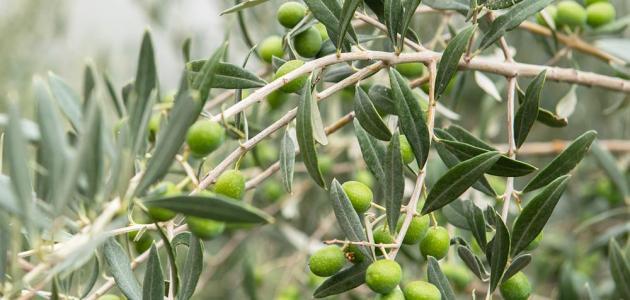 كم سنة تستغرق شجرة الزيتون كي تثمر