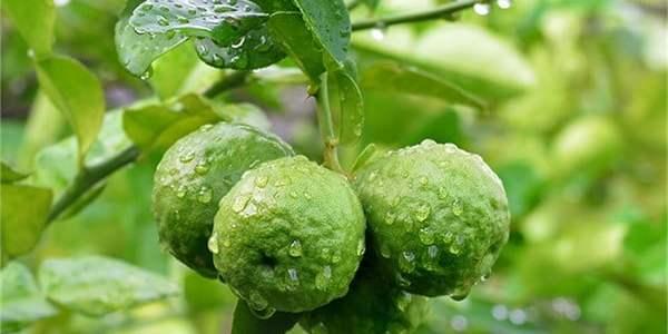 مواسم زراعة البرغموت وطريقة زراعة البرغموت وفوائد البرغموت الصحية