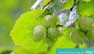 مواسم زراعة البندق وطريقة زراعة البندق وأهم الملاحظات لزراعته
