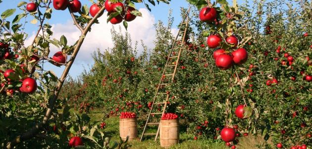 مواسم زراعة التفاح وطريقة زراعة شجرة التفاح وأشهر أصناف التفاح المنتشرة في العالم