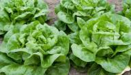 مواسم زراعة الخس وطريقة زراعة الخس