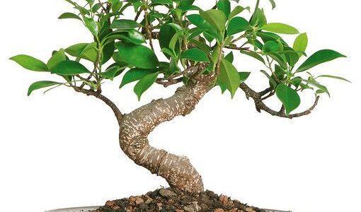 مواسم زراعة الفيكس العادي وطريقة زراعة الفيكس العادي و الآفات الزراعية في زراعته