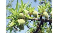 مواسم زراعة اللوز وطريقة زراعة اللوز