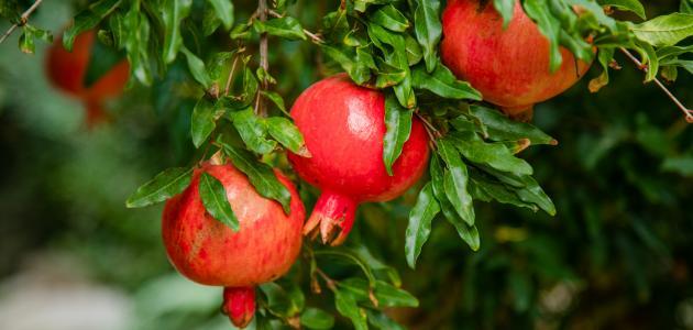 موسم زراعة الرمان وطريقة زراعة الرمان وشروط زراعته وطريقة تسميده