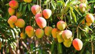 موسم زراعة المانجو وطريقة زراعة المانجو وكيفية رعاية شجرتها