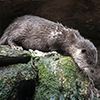 Totemdier Otter