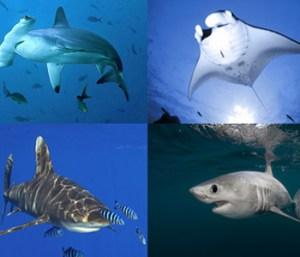 cites-shark-manta-ray