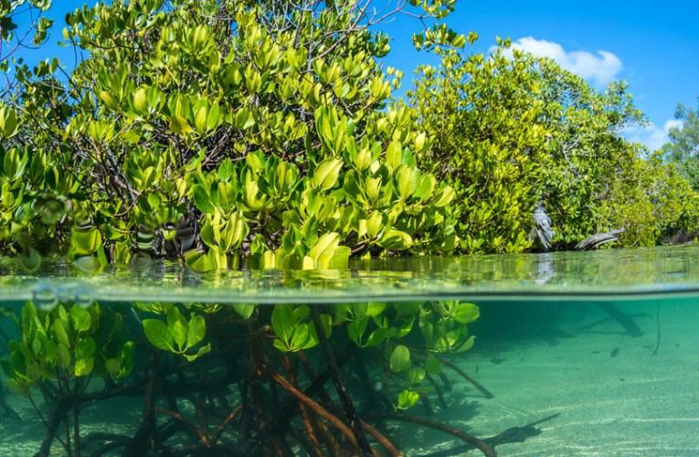 Los manglares son vitales: 6 cosas que cada uno de nosotros podemos hacer por ellos