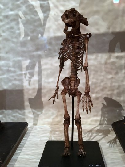 Skelet van nijntje
