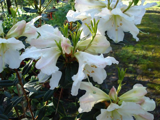 Rhododendron White Doves