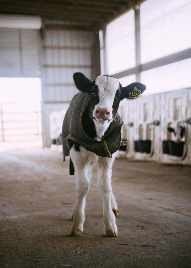 子牛の事故率ってどのくらい?淘汰の防止方法を紹介