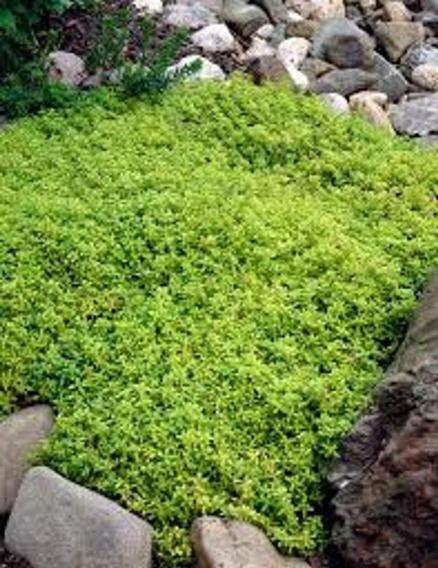 Thyme Plant in Rock bed