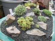 S. Paniculata