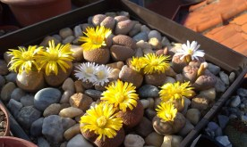 Various Lithops