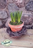Påsk pärlhyacint