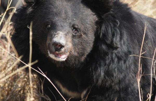 A rescued Asiatic black bear at Balkasar Bear Sanctuary [Image by Fakhar-i-AbbasA rescued Asiatic black bear at Balkasar Bear Sanctuary [Image by Fakhar-i-Abbas