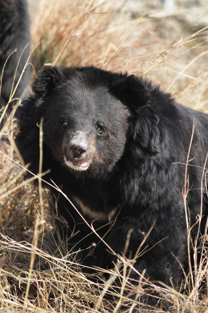 A rescued Asiatic black bear at Balkasar Bears Sanctuary [Image by Fakhar-i-Abbas