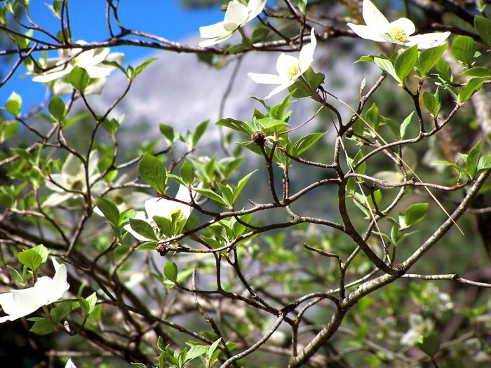 """Dogwood tree in Yosemite May 2011 Dogwood"""" by Trace Nietert is licensed under CC BY 2.0"""