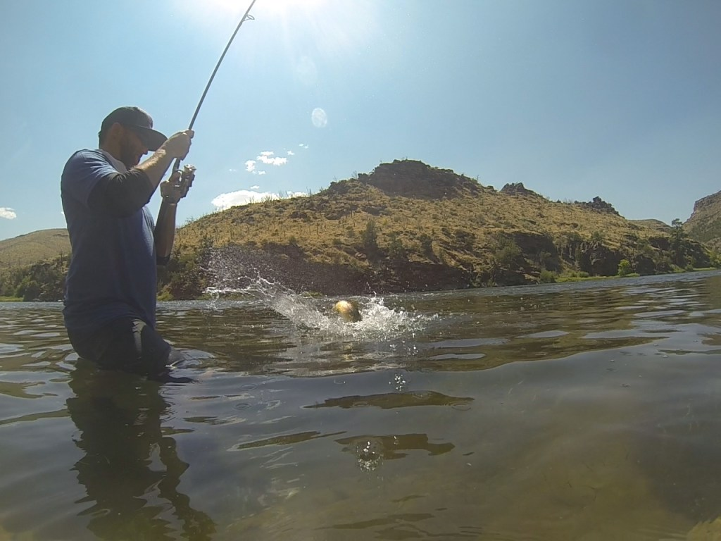 fishermen reeling in a big brown trout on the green river