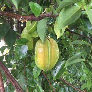 fila-naranjo-dragon-fruit