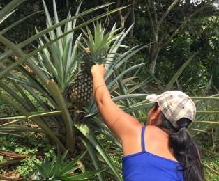 picking-pineapple-5