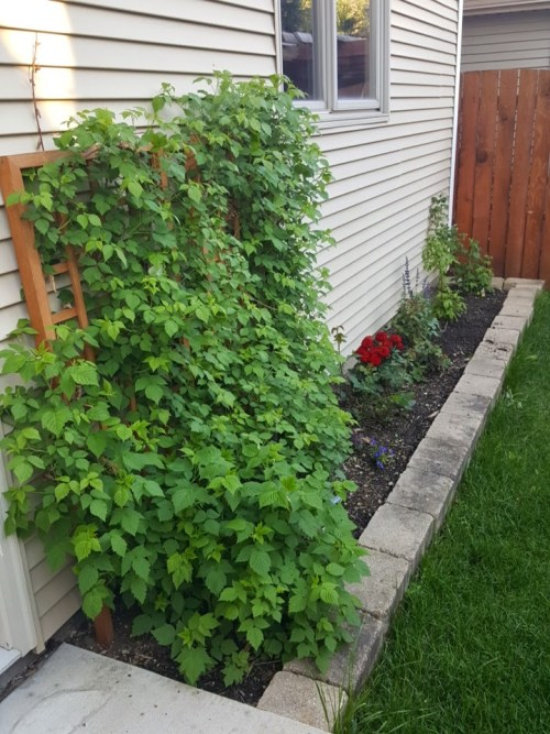 One Year Old Raspberries in Foreground with New Plantings in Back