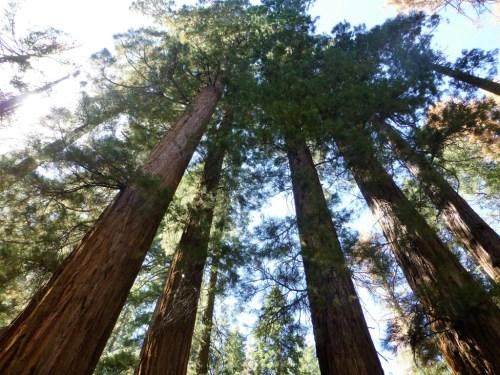 The Grand Trees at Yosemite