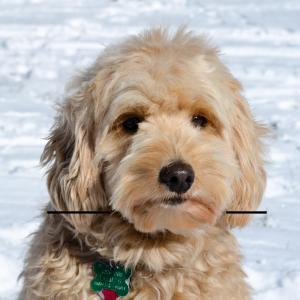 How To Trim A Goldendoodle S Face Yourself Timberidge