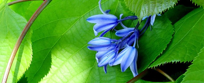 Blueblell flower - plants that like shade