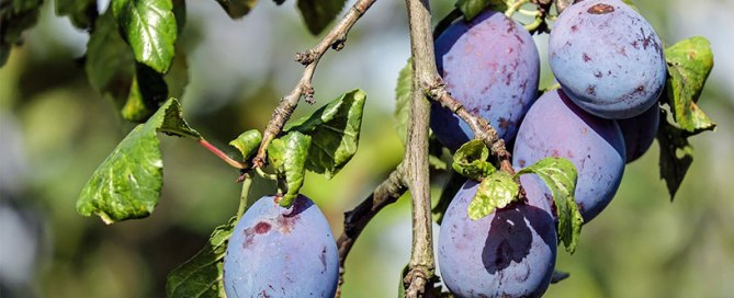 plum closeup - fruit tree growing in California