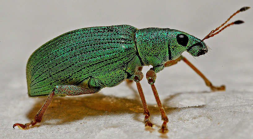 a weevil: one of the bugs that could be in your yard