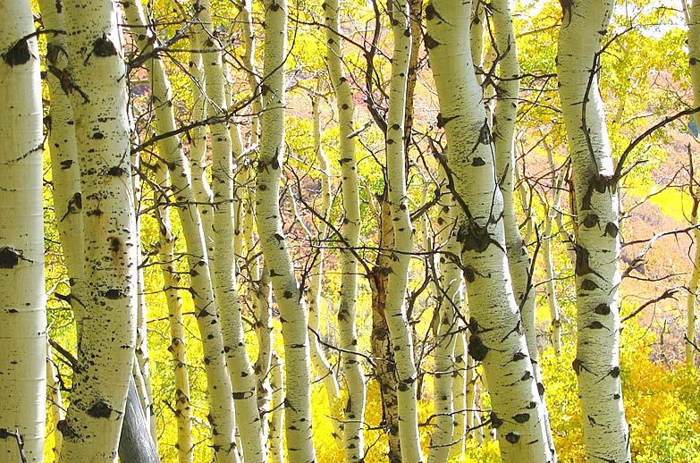 saved Aspen trees