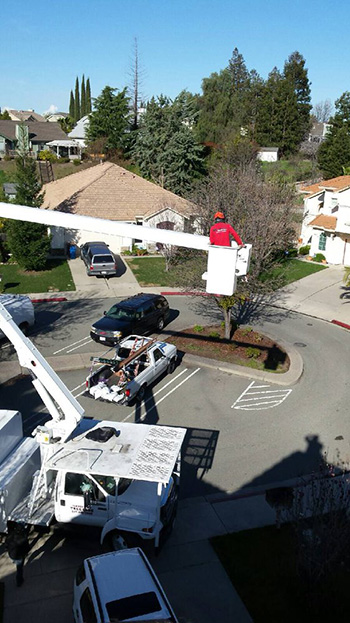 Pleasant Hill tree care specialist prunes a cedar with a bucket truck