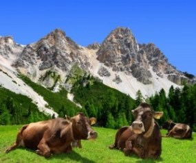 9.-Herd-of-Cows-in-the-Dolomite-Alps-300x251