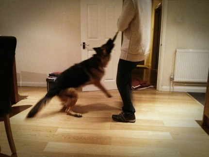 Day 10. Big bro comes to visit and its Cody's play time. Translated - she gets thrown around all over the place and loves every second of it.