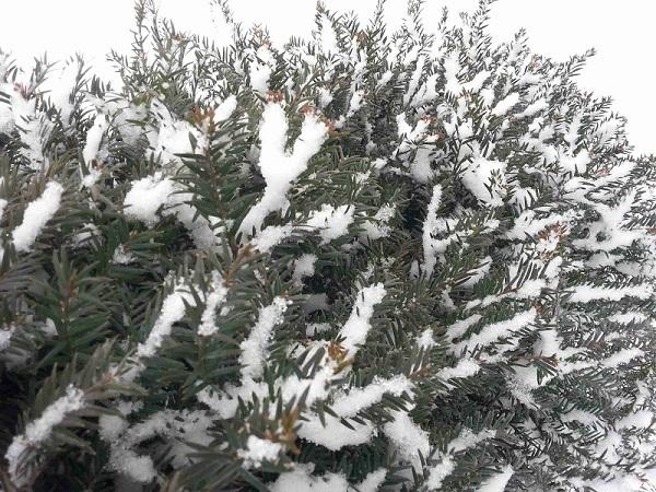 snow-on-trees-01