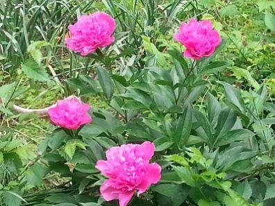 mopana-beautiful-pink-peony-04