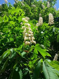 mopana-candle-in-the-wind-chestnut-flower-02