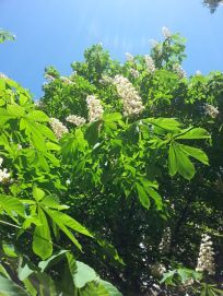 mopana-candle-in-the-wind-chestnut-flower-03
