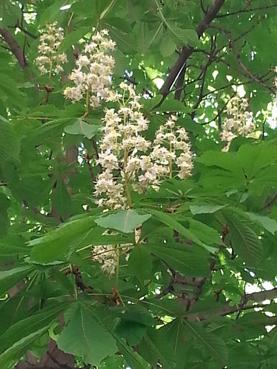 mopana-candle-in-the-wind-chestnut-flower-07